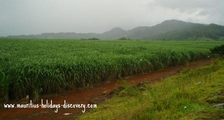 Lush sugarcane field on a rainy day - Mauritius
