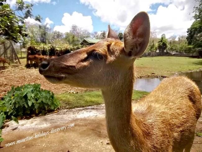 Java deer, Mauritius