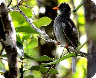 Mauritius Black Bulbul
