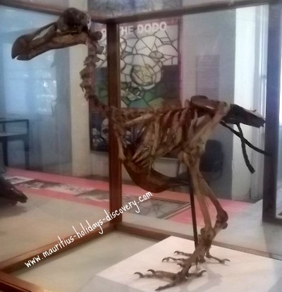 Skeleton of dodo