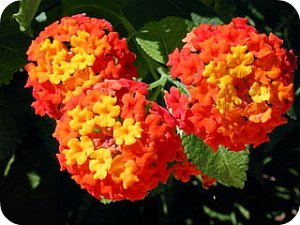 West Indian Lantana, Spanish Flag