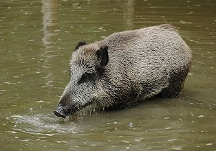 Wild Boar in Mauritius