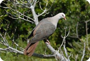 Pink Pigeon, Mauritius