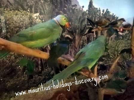 Mauritius Echo Parakeet
