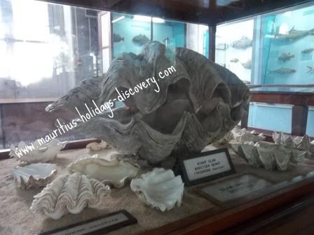 Mauritius Giant Clam