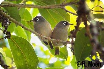 Mauritius Olive White-eye Zosterops chloronothos