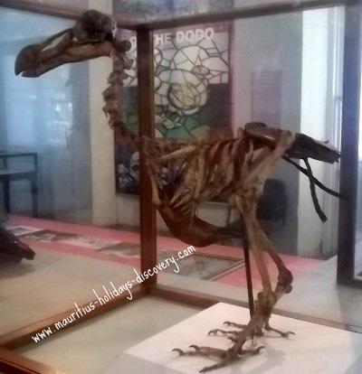 Skeleton of dodo
