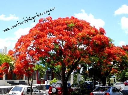 Summer in Mauritius - Flamboyant Tre