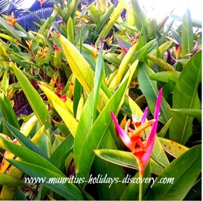 Flowers of Mauritius, Bird of Paradise