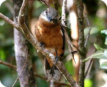 Mauritius Cuckooshrike