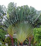 Ravenala Palm
